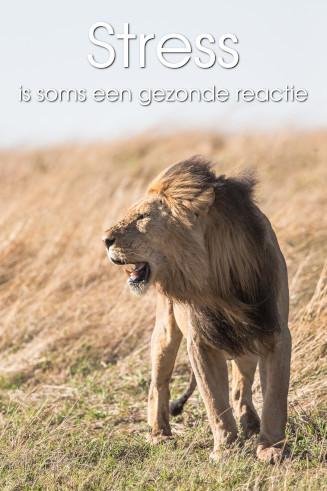 Als je tegenover een leeuw staat, is stress een gezonde reactie